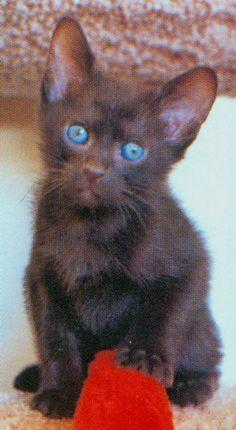 pictures of havana brown cat breed