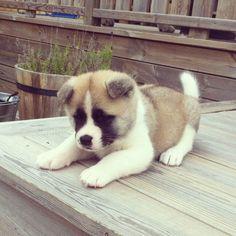 American akita puppy. 6 weeks old. His name is Stig. #american #akita #puppy