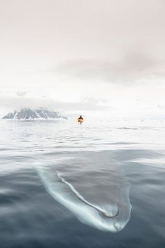 congenitaldisease:  A minke whale swimming under a man in a kayak.