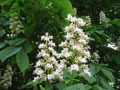 Red chestnut bach flower remedies pinterest horses horse white chestnut mightylinksfo Choice Image
