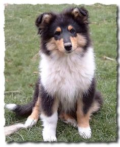 Collie puppy - Looks like Sport