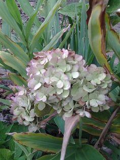 Sara said plantas e cactos - flor hortência