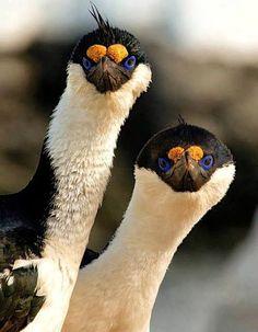 Cormoranes imperiales, foto Isac Galisteo. Argentina
