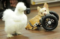Penny, a fluffy Silkie chicken and Roo, a two-legged Chihuahua have become fast friends after being rescued by Alicia Williams, who works at the Duluth ...