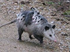 Momma opossum and babies