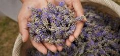 Ontario based organic lavender farm offering unique, natural and handmade lavender products. Shop bath and body, skin care, gifts, food and home essentials from Terre Bleu Lavender Farm. Essential Oils For Massage, Therapeutic Essential Oils, Lavender Farm Ontario, Lavender Oil Benefits, Hand Massage, Collage, Malva, Small Groups, Herbs