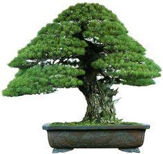 Indoor Bonsai, Bonsai Plants, Bonsai Art, Bonsai Styles, Miniature Plants, Plant Art, Green Life, Ikebana, Trees To Plant