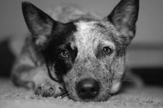 The Cattle Dog Stare!!!!!!