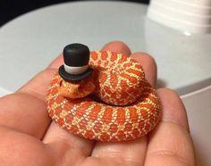 Dapper li'l snake