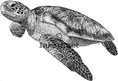Pen and ink line art drawing of a Green Sea Turtle (Chelonia mydas)