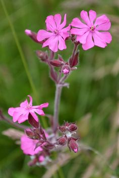 Pink Campion.  To add to meadow