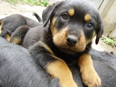 Rottweilers are my favorite dog ever and if my son was older I would have one.  I grew up with Rotts and German Shepherds.  Great dogs both of them!!