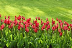 18 Early Spring Flowers: A Comprehensive Guide – DIY Home & Garden Tulips embody romance and elegance Clusia, Long Flowers, Bulb Flowers, Red Tulips, Tulips Flowers, Flowers Garden, Garden Plants, Early Spring Flowers, Bloom Blossom