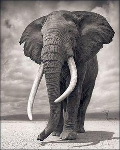 Photos - Animals - Elephant on Bare Earth, Amboseli by Nick Brandt Elephant Love, Elephant Art, African Elephant, African Animals, Elephant Photography, Wildlife Photography, Animal Photography, White Photography, Beautiful Creatures