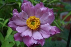 Although closely related and frequently lumped together, the anemone flower is a separate genus from the hepatica and pasque genera. Types Of Flowers, Real Flowers, Colorful Flowers, Beautiful Flowers, Anemone Flower Pictures, Flower Show, Flower Art, Landscaping Tips, Garden Landscaping