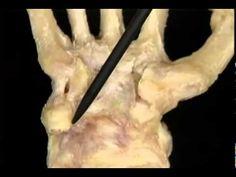 human anatomy part 4