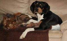 Hennessey (aka Doolittle) is a treeing walker coonhound who is between 1-2 years old now. He probably weighs around 60 lbs, he is neutered, up to date with shots, microchipped, and HW negative. He is a good boy, a little shy, but really just wants...