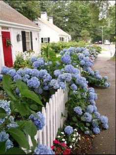 A white picket fence, a red door and blue hydrangeas! - ideas for the front yard, . A white picket fence, a red door and blue hydrangeas! – ideas for the front yard, Hortensia Hydrangea, Blue Hydrangea, Hydrangea Bush, Hydrangea Garden, White Hydrangeas, Beautiful Gardens, Beautiful Flowers, Beautiful Boys, The Secret Garden
