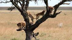 Arbre à chats grandeur nature. / By Sergey Agapov. Grandeur Nature, Lion Pride, Predator, Big Cats, Lions, Moose Art, Scene, Horses, Pets
