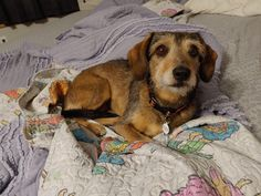 Josie is an adoptable dachshund searching for a forever family near Belton, MO. Use Petfinder to find adoptable pets in your area. Mini Dachshund, Dachshund Puppies, Dachshund Adoption, Terrier Mix Dogs, Tennessee, Searching, Shelter, Pets, Animals