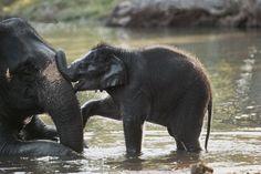 Cucciolo di elefante asiatico