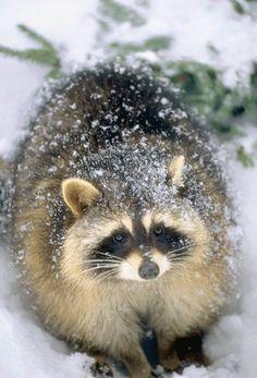 Mapache en la nieve