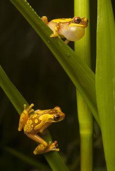 В поисках утраченной лягушки: редчайшие виды удивительных лягушек в фантастических фотографиях
