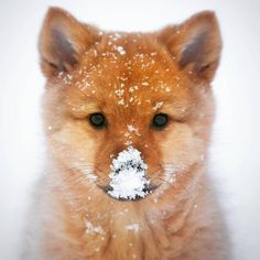 A Cute Fox cub with Snow on their snoot Animals And Pets, Baby Animals, Cute Animals, Chien Shiba Inu, Rambo, Destination Voyage, Cute Fox, Pembroke Welsh Corgi, Tier Fotos