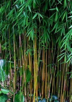 Best bamboo choice - Fargesias are non-invasive, clumping Bamboos that do not need to be contained. They make attractive specimens, hedges, or screens. Perfect for the outdoor shower garden.