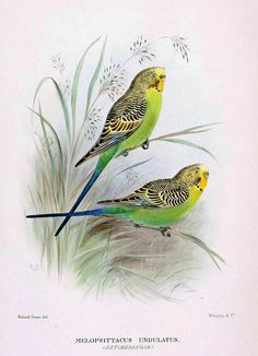 23 Best For The Birds Images Birds Budgies Parakeet