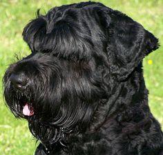 Black Russian Terrier, Dogs, Pet Dogs, Doggies