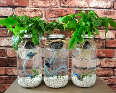Wouldnt you like to grow your own herbs and salad greens for your daily brunch? Showcase your botanist skills in an elegant system that will wow all of your guests. The Mason Jar Aquaponics kit is perfect for your new and sustainable indoor herb garden / salad garden. Other mason jar hydroponic garden kits on Etsy do not have aeration systems. Although they work and grow, the more air your roots receive, the quicker they grow. This system uses deep water culture (DWC), which means your plant…