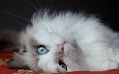 Preview wallpaper fluffy cat, cat, lies, eyes, handsome cat