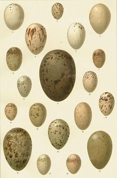 Vintage Bird Egg Print 1886 by VintageInclination on Etsy