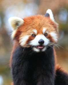 Scary Animals, Nature Animals, Cute Baby Animals, Animals And Pets, Funny Animals, Red Panda Cute, Panda Love, Cubs Pictures, Animal Pictures
