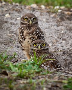 https://flic.kr/p/MeGzwd | Burrowing Owl | Burrowing Owl. Brian Piccolo Park…