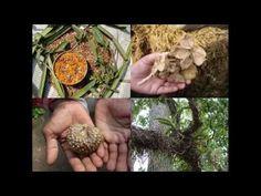 Medicinal Rice P5L Formulations for Sanicula Excess: Pankaj Oudhia's Med...