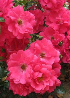 Flower Carpet Pink Supreme | Flickr – Compartilhamento de fotos!