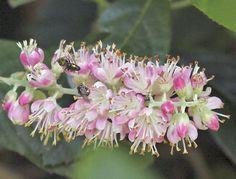 Clethra alnifolia - Summersweet, Pepperbush....a shrub for pollinator & butterfly gardens