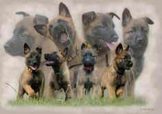 Belgian Malinois Shepherd puppies