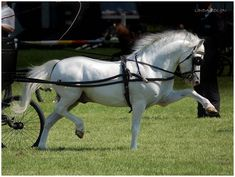 Welsh pony Strutting His Stuff by KonikPolski.deviantart.com on @deviantART