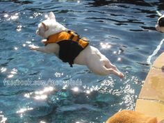 Barbie's BIG leap!  facebook.com/moonpieds  #frenchbulldog