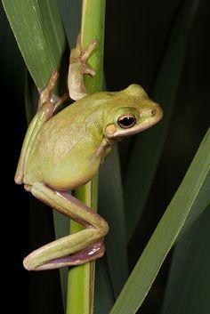 Green Treefrog, (Hyla cinerea)