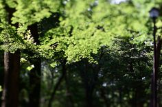 maple - もみじ