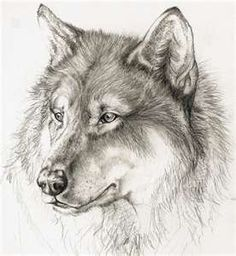 Sketch of wolf - artist unknown