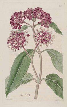 Asclepias incarnata L. swamp milkweed