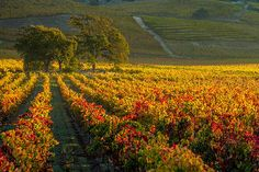 Golden Light In The Valley by Bill Gallagher. This fall image of the Napa Valley was captured fairly early in the morning as the sun was coming up over the eastern hills. The oak trees in the distance pull you in.
