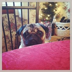 Mr. Pug is waiting very patiently for his dinner plate