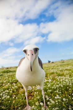 Albatross on Midway Island, Hawaii Midway Atoll, Bird Pictures, Travel Pictures, Travel Pics, Bird Watching, Nature Photography, Color Photography, Beautiful Birds, Great Artists