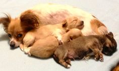 Chihuahua mom and puppies image via www.Facebook.com/CuteChihuahuaFans